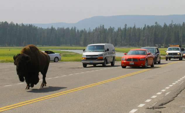 Buffalo Stopping Traffic