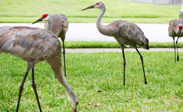 Wildlife, like these Sandhill cranes, is abundant in central Florida.