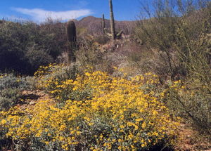 A rainy winter yields an explosion of spring color in the heart of the Sonoran Desert.